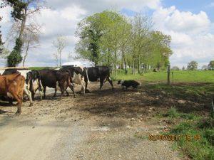 Le chien fait rentrer seul plus de 100 vaches!!!!