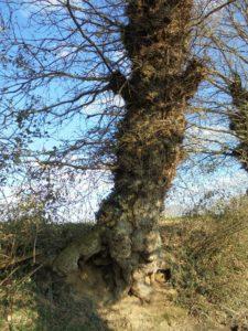 Ce chêne en en a vu des hivers plus ou moins dur !!!