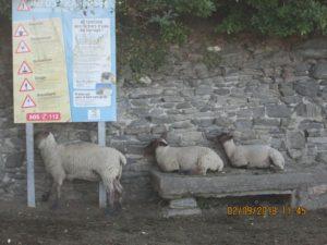 Moutons des prés salés
