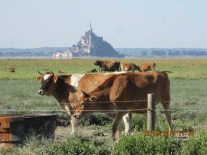 Les vaches des prés salés.